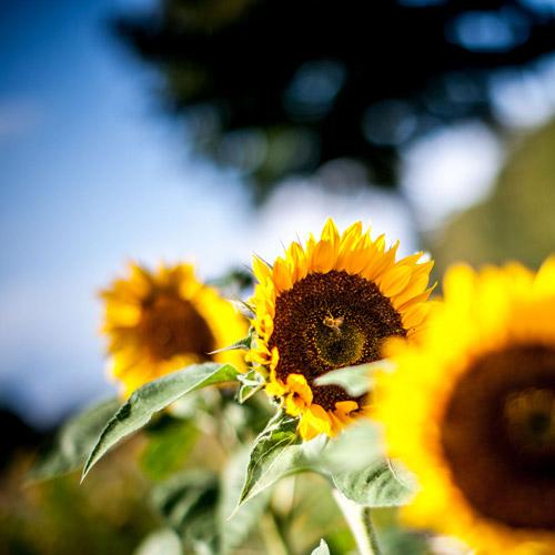 Ortsverband Hiddingsel sammelt 1321,- EUR für Lichtblicke durch Sonnenblumen-Initiative.